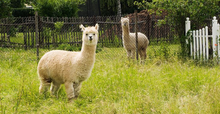 Die Wolle des Alpakas bietet dem Träger zahlreiche Vorteile